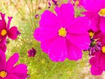Fleur rose de fleurs Image libre de droits