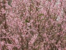 Fleur rose de fleurs sur l'arbre au printemps photos libres de droits