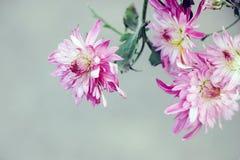 Fleur rose de floraison de chrysanthème Photographie stock libre de droits