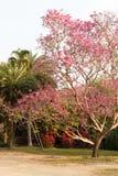 Fleur rose de floraison d'arbre de trompette rose image libre de droits