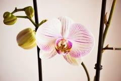Fleur rose de floraison d'orchidée Photo libre de droits