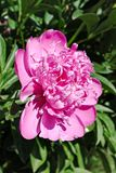 Fleur rose de floraison de pivoine Image libre de droits