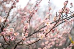 Fleur rose de floraison de prune Images libres de droits