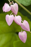 Fleur rose de floraison de vigne de corail Photos libres de droits