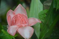 fleur rose de forêt tropicale Photographie stock