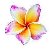 Fleur rose de fragipani d'isolement Photographie stock