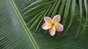Fleur rose de frangipani également connue sous le nom de plumeria ou lilawadee tournant sur la feuille de banane banque de vidéos