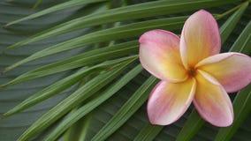 Fleur rose de frangipani également connue sous le nom de plumeria ou lilawadee tournant sur la feuille de banane clips vidéos