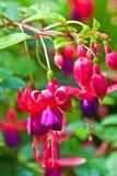 Fleur rose de Fuschia avec des baisses de l'eau. Photo libre de droits