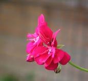 Fleur rose de géranium Photographie stock libre de droits