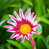 Fleur rose de Gazania Photographie stock libre de droits