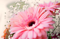 Fleur rose de gerber Photo libre de droits