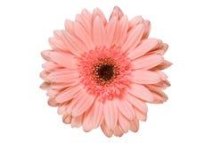 Fleur rose de gerbera Photos stock
