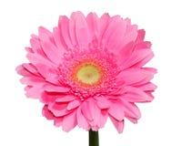 Fleur rose de Gerbera Photo libre de droits