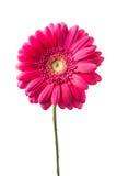 Fleur rose de gerbera d'isolement Images libres de droits