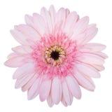 Fleur rose de Gerbera d'isolement sur le blanc Photos libres de droits