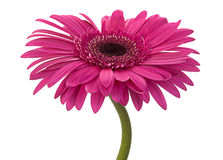 Fleur rose de gerbera sur le blanc Image libre de droits
