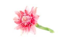 Fleur rose de gingembre de torche Image libre de droits