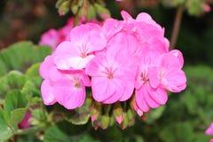 Fleur rose de géranium Image libre de droits