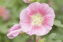 Fleur rose de Hollyhock Photo stock