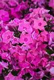 Fleur rose de hydrangea Hortensia - le terrain communal appelle l'hortensia et Ho Photographie stock libre de droits