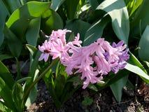 fleur rose de jacinthe avec les feuilles vertes dans le jardin photo libre de droits