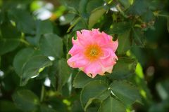 Fleur rose de jardin Photographie stock