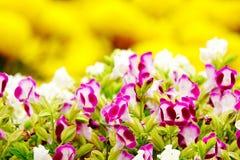 Fleur rose de jardin de désambiguisation de pensée photo stock