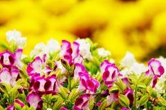 Fleur rose de jardin de désambiguisation de pensée photos libres de droits