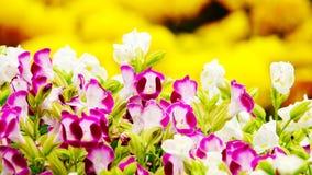 Fleur rose de jardin de désambiguisation de pensée photographie stock libre de droits