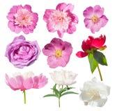 Fleur rose de jardin d'isolement Pivoine, rose sauvage d'isolement Photos libres de droits