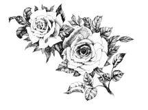 Fleur rose de jardin tiré par la main d'isolement sur le fond blanc Photographie stock libre de droits
