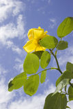 Fleur rose de jaune Photos libres de droits