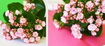Fleur rose de kalanhoe avec les feuilles vertes Images stock