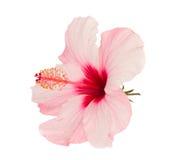 Fleur rose de ketmie Images libres de droits