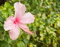 Fleur rose de ketmie. Photographie stock libre de droits