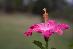 Fleur rose de ketmie photographie stock libre de droits