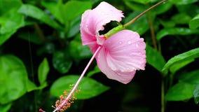 Fleur rose de ketmie après pluie banque de vidéos