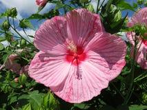 Fleur rose de ketmie d'été en pleine floraison photos stock