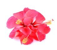 Fleur rose de ketmie d'isolement sur le fond blanc Photos stock