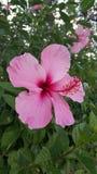 fleur rose de ketmie dans la place Photos libres de droits