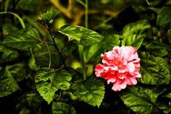 Fleur rose de ketmie dans le jardin Image stock