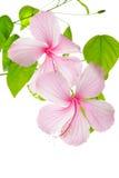 Fleur rose de ketmie de branche d'isolement sur le blanc Photo stock