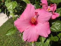 fleur rose de ketmie et feuille verte Image stock
