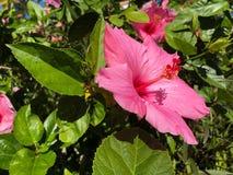 fleur rose de ketmie et feuille verte Photo libre de droits