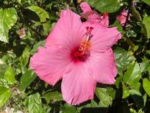 fleur rose de ketmie et feuille verte Photos libres de droits
