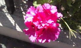 Fleur rose de l'Equateur Photographie stock libre de droits