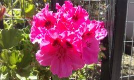 Fleur rose de l'Equateur Photographie stock