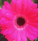 Fleur rose de la fleur p Photographie stock libre de droits