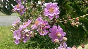 Fleur rose de Lagerstroemia images stock
